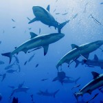 news-image-reef-shark